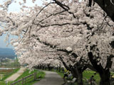 クリックすると犀川の桜のページにジャンプします