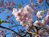 クリックすると伏見川、馬場川の桜のページにジャンプします