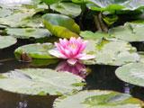 放生池の蓮の花(クリックで拡大)